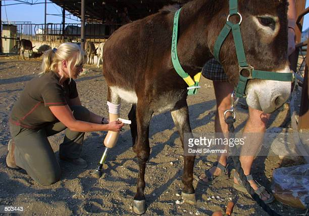 Lucy Fensom founder of Safe Haven for Donkeys in the Holy Land or wwwsafehaven4donkeyscom tends to Cachou as she attaches the an artificial leg to...