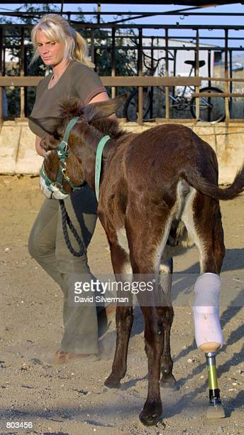 Lucy Fensom founder of Safe Haven for Donkeys in the Holy Land or wwwsafehaven4donkeyscom walks Cachou after she attached an artificial leg to the...