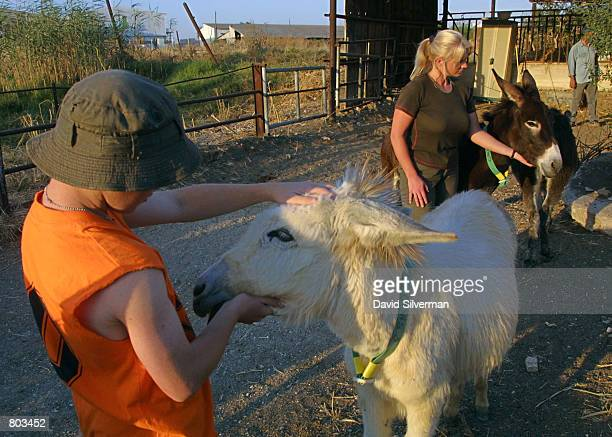 Lucy Fensom right founder of Safe Haven for Donkeys in the Holy Land or wwwsafehaven4donkeyscom tends to her donkeys with the help of volunteers...