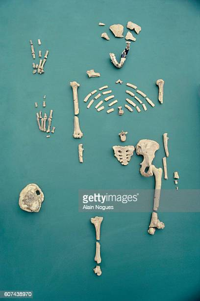 Lucy is the name given to the Australopithecus afarensis fossil found in Ethiopia in 1974 The skeleton is 40% complete and dates back 32 million...