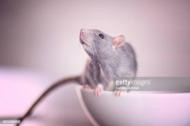 lucy - rat stock photos and pictures