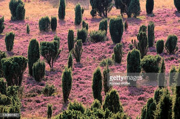 lueneburger heide, lueneburg heath, lower saxony, germany, europe - lüneburg stock photos and pictures