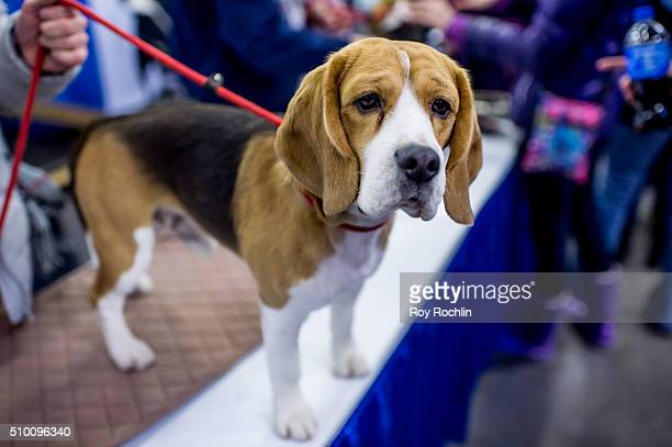 Luie the Beagle attends 7th Annual AKC Meet The Breeds at Pier 92 on February 13 2016 in New York City