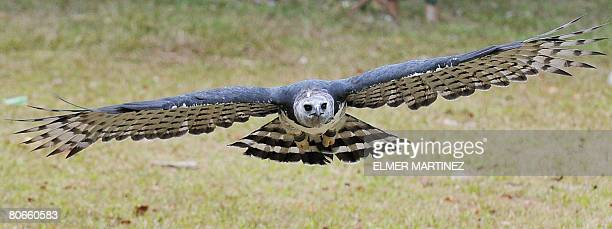 Luigi an adult male Harpy eagle born and raised in captivity flies towards its trainer for food at the National Association for the Conservation of...