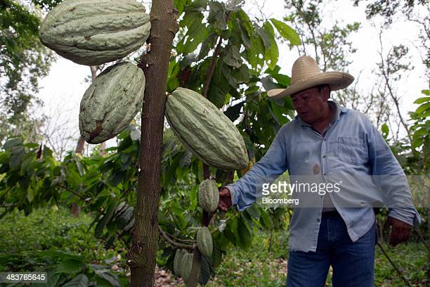 Luis Bargau owner of the Hacienda Argentina cocoa plantation examines a cocoa tree on his property in the state of Tabasco near Comalcalco Mexico on...