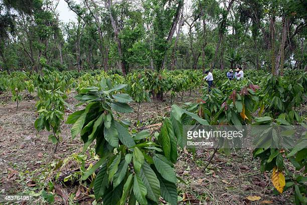 Luis Bargau second from right owner of the Hacienda Argentina cocoa plantation and his son Manuel Bargau right speak with representatives of Nestle...