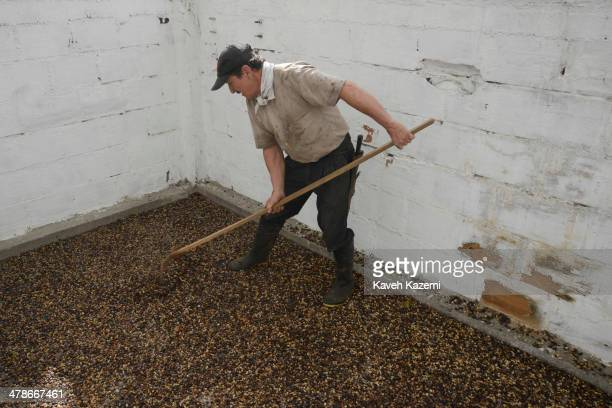 Luis Enrique the foreman in charge of coffee operation dries the coffee beans under the sun in 'Villa Carmen' a large coffee plantation in Tribunas...