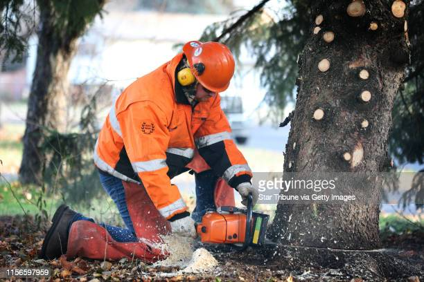 Luke Virchow of the Anoka city crew cut the base of a 44foot Black Hills spruce tree from Bob Brass yard Monday November 20 2017 in Anoka MN The tree...