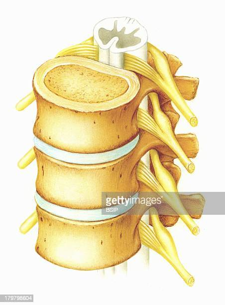 Lumbar Vertebra Draw Lumbar Vertebrae And Spinal Cord Lumbar Vertebrae Are The Most Robust They Bear In Fact A Corporal Weight More Important Than...