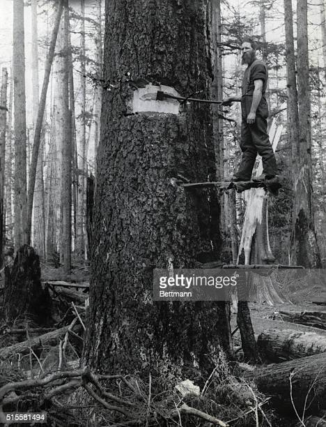 Lumberjack at work in a Washington forest Undated photograph BPA2# 2880