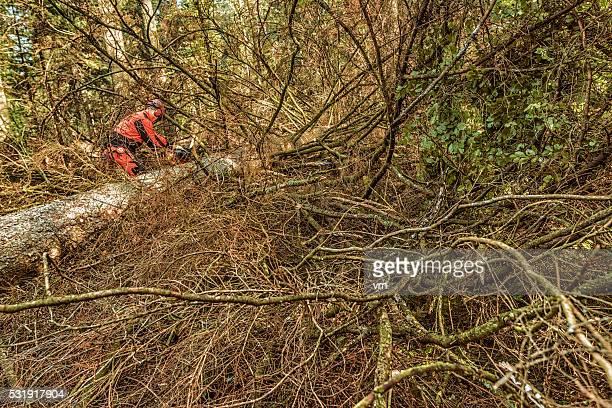 Lumberjack sawing a fallen tree in the woods
