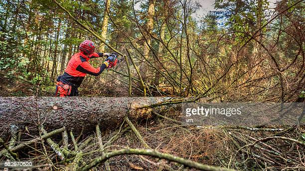 Lumberjack sawing a fallen tree in the woods