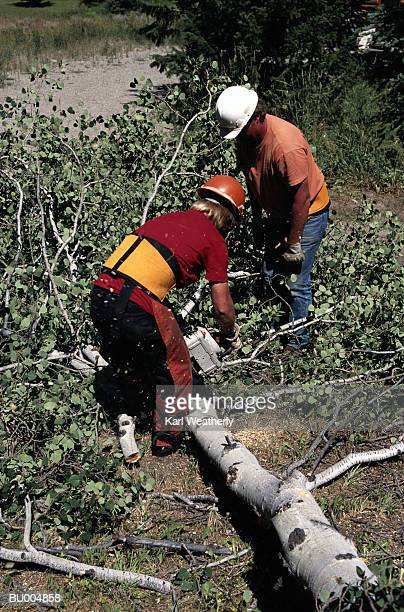 Lumberjacks Cutting a Felled Tree