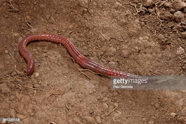 lumbricus terrestris (common earthworm, lob worm) - earthworm stock pictures, royalty-free photos & images