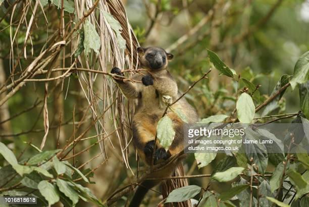 lumholtz's tree-kangaroo up a tree, atherton tablelands - atherton tableland stock pictures, royalty-free photos & images