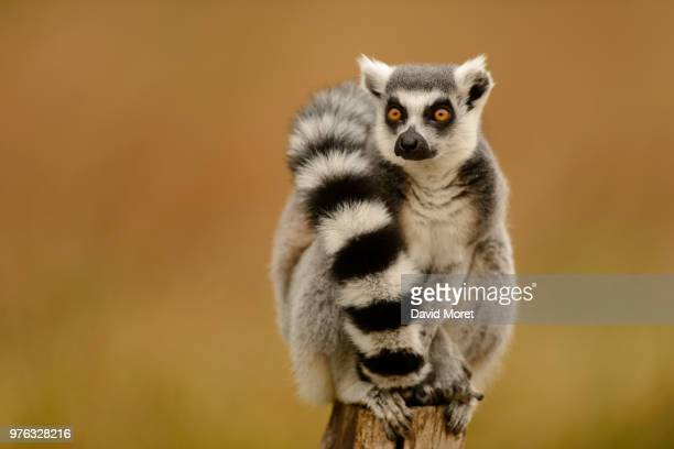 lumigny-nesles-ormeaux,france - lemur stock pictures, royalty-free photos & images