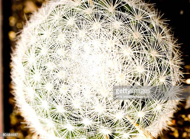 a luminous ball consists of asterisks - needle plant part stock photos and pictures