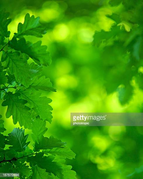 luminous green Oak leaves and canopy