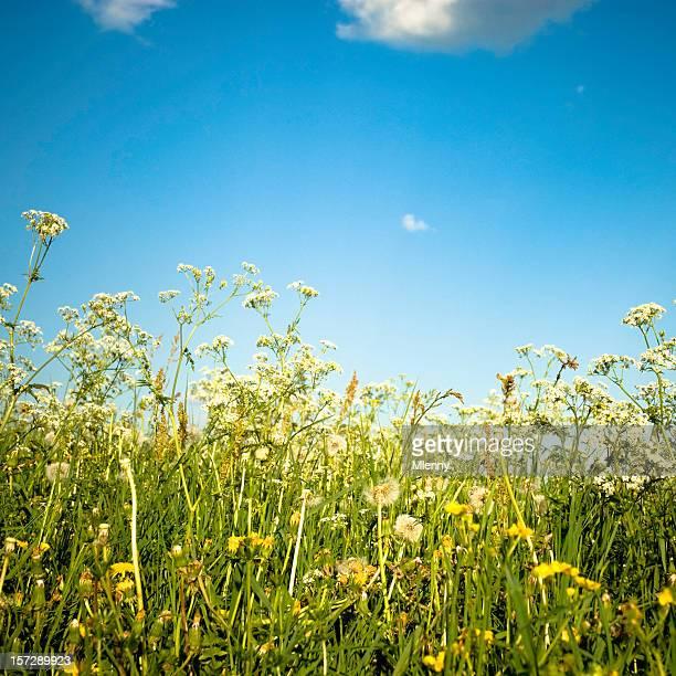 hellen sommer field - mlenny stock-fotos und bilder