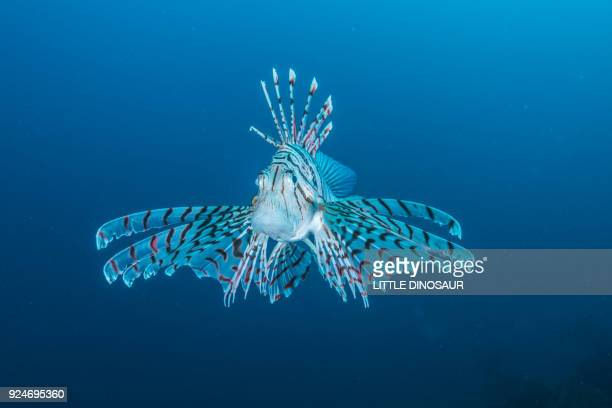 Luna lionfish (Pterois lunulata  Temminck & Schlegel, 1843) hovering in the blue water