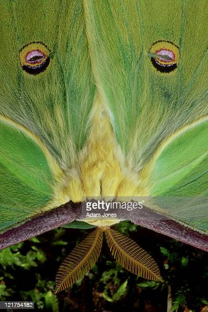 luna moth, actias luna, male, antennae and wing spots, kentucky     - luna moth stock pictures, royalty-free photos & images