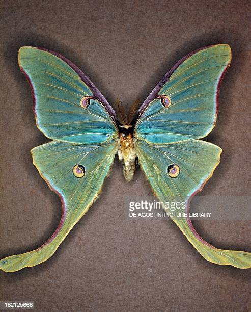 Luna moth butterfly Saturniidae