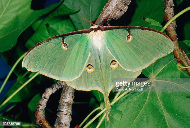 luna moth on a branch - luna moth stock pictures, royalty-free photos & images