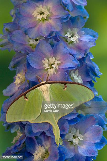 luna moth on blue delphinium flowers, close-up - luna moth stock pictures, royalty-free photos & images