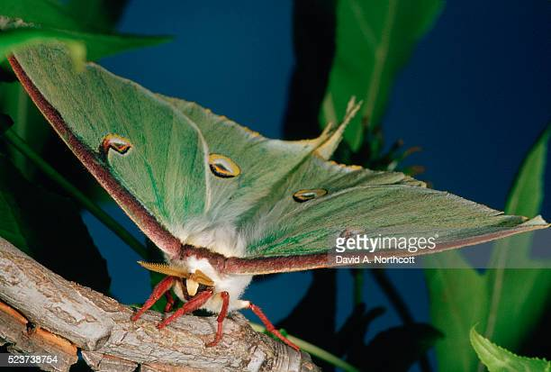 luna moth on branch - luna moth stock pictures, royalty-free photos & images