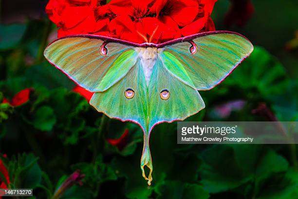 luna moth on geranium - luna moth stock pictures, royalty-free photos & images