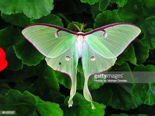 luna moth on geraniums - papillon de nuit photos et images de collection