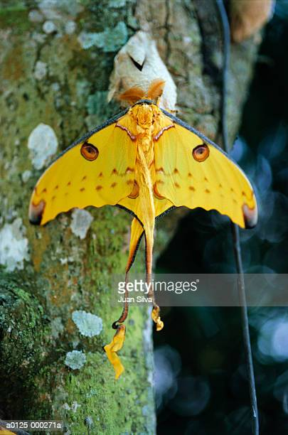 luna moth on tree trunk - luna moth stock pictures, royalty-free photos & images