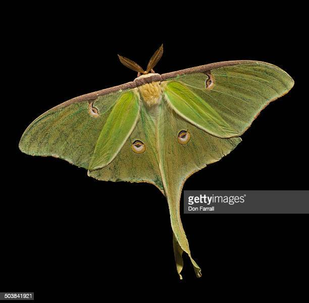 luna moth - luna moth stock pictures, royalty-free photos & images