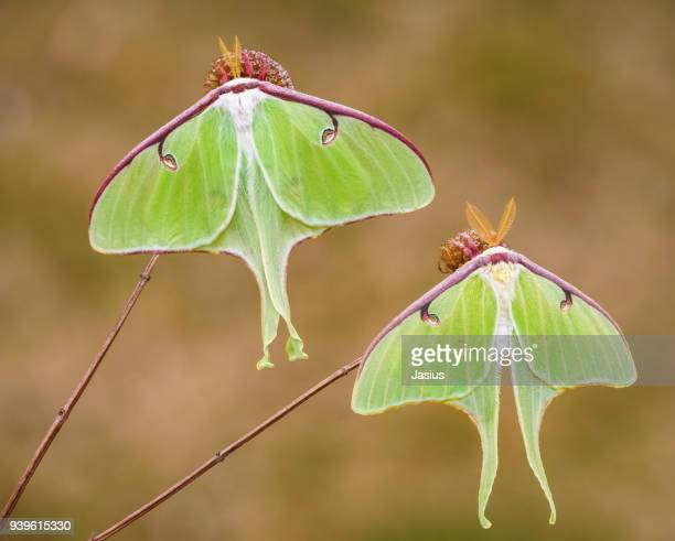 luna moth - papillon de nuit photos et images de collection