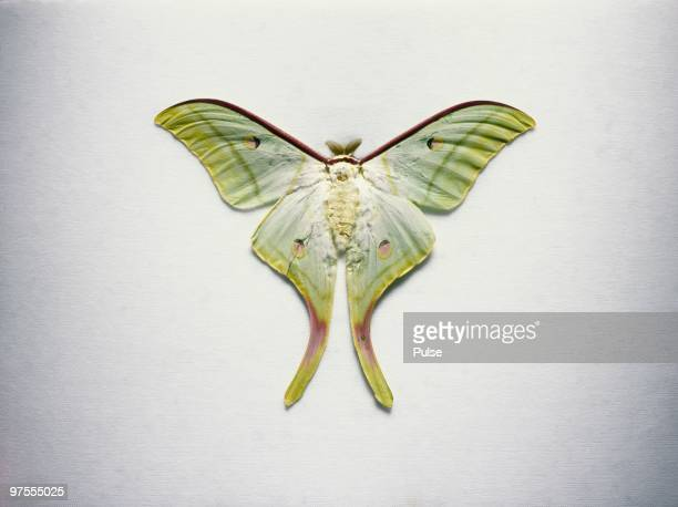 luna moth. - luna moth stock pictures, royalty-free photos & images
