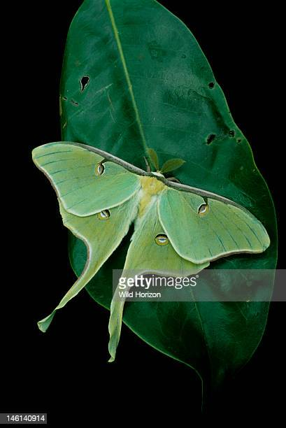 Luna moth resting on a magnolia leaf Actias luna Gainesville Florida USA Photographed under controlled conditions