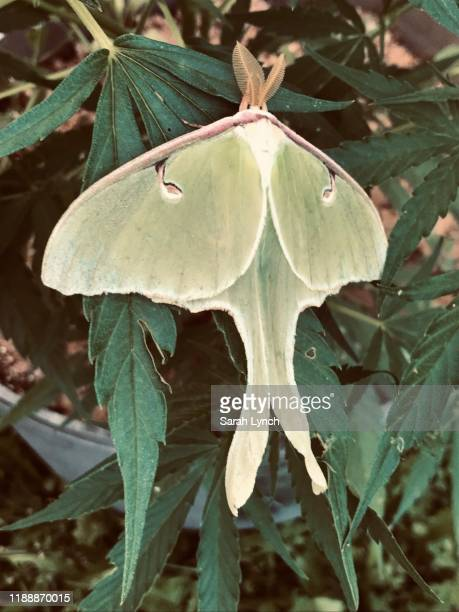 luna moth resting on cannabis plant - luna moth stock pictures, royalty-free photos & images