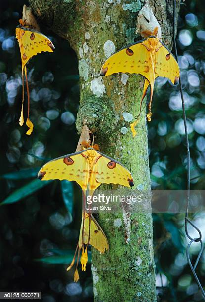 luna moths on tree trunk - luna moth stock pictures, royalty-free photos & images