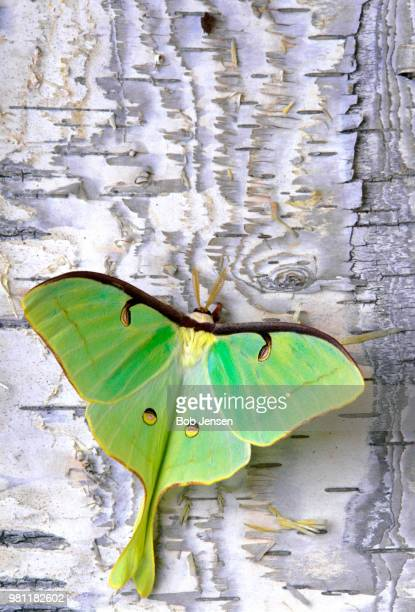 luna on birch - luna moth stock pictures, royalty-free photos & images