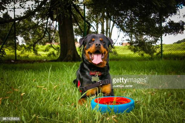 luna - rottweiler stock photos and pictures