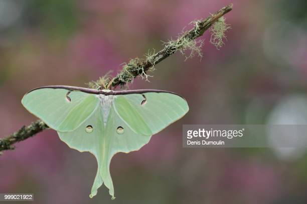 luna - luna moth stock pictures, royalty-free photos & images