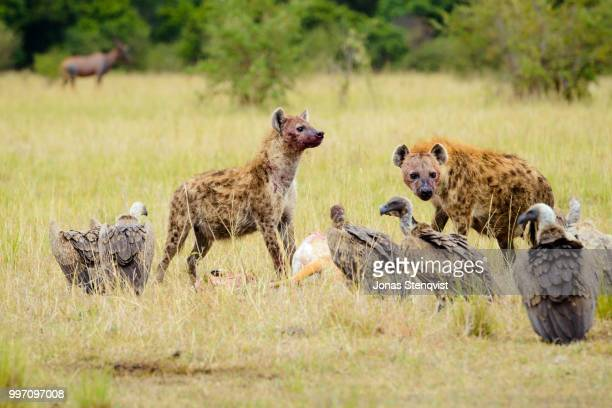 lunch break - spotted hyena stock pictures, royalty-free photos & images