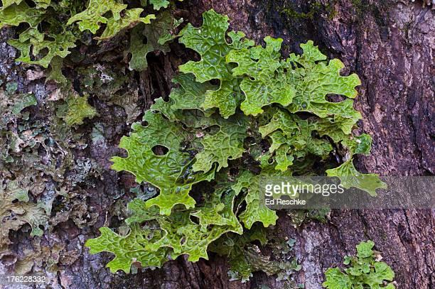 lung lichen or lungwort (lobaria pulmonaria) - green algae ストックフォトと画像