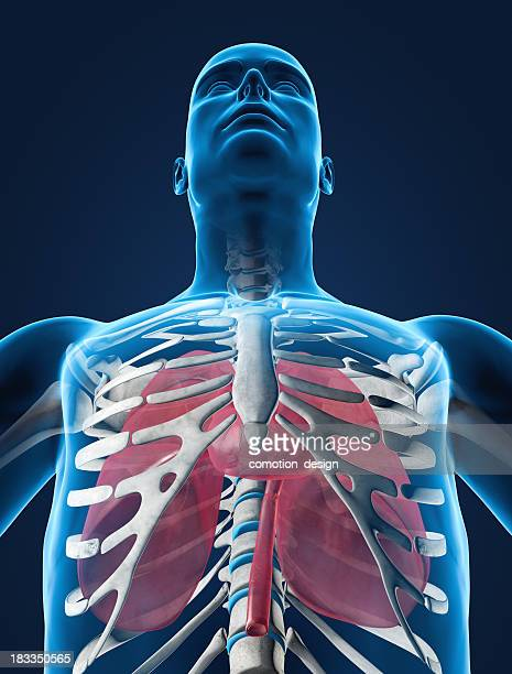 lungs and heart in ribcage - human stomach internal organ stock photos and pictures