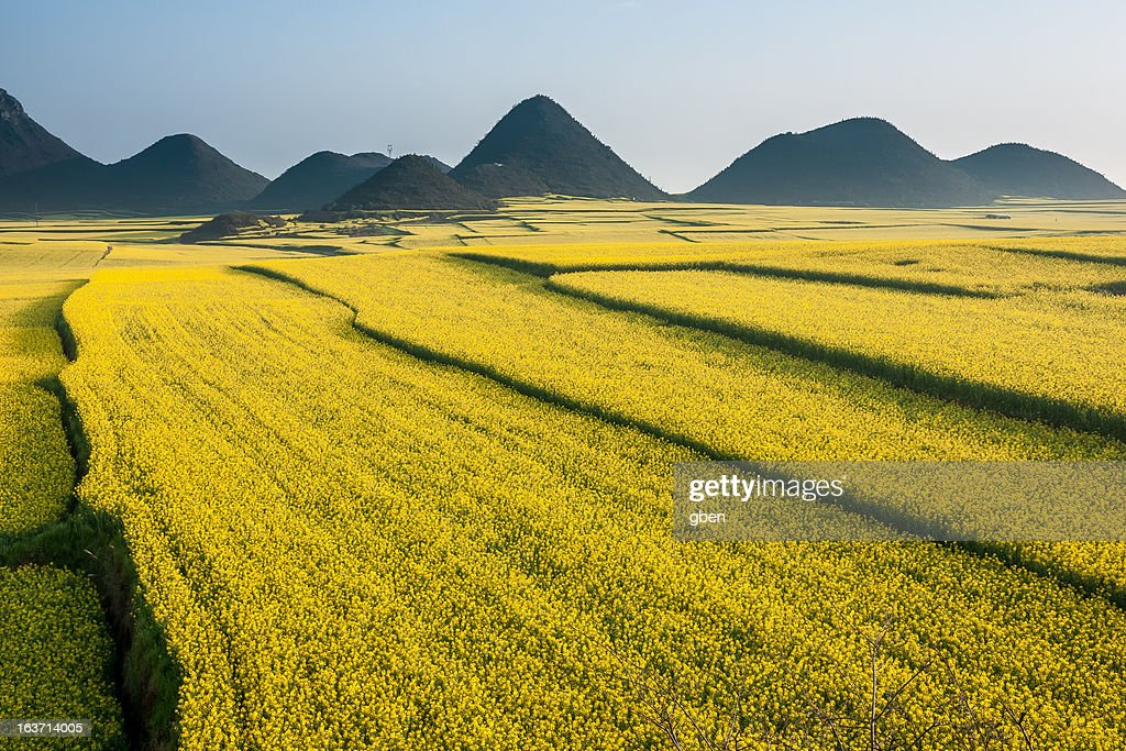 Luoping rapeseed flower : Stock Photo