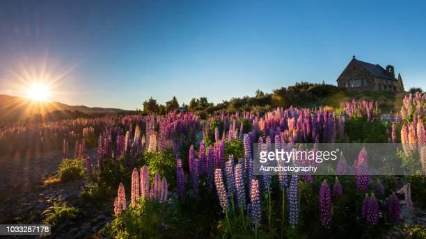 Lupin field at Lake Tekapo , New Zealand