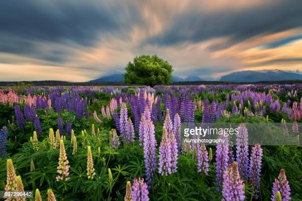 Lupin Field in New Zealand.
