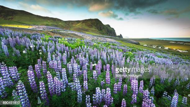 Lupin flower field in summer;Iceland