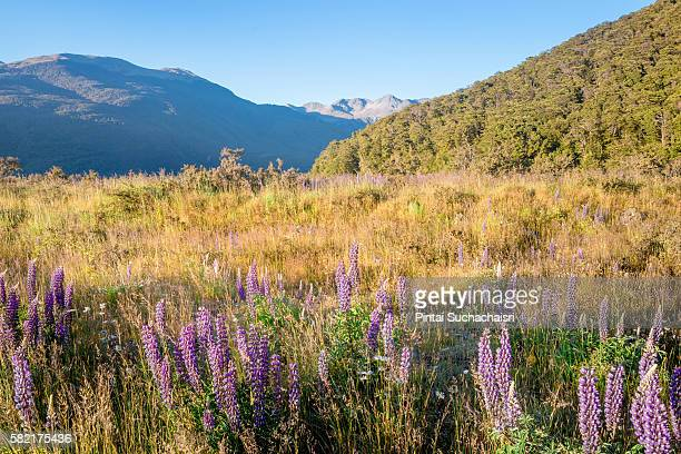 Lupin Flowers Field in Arthur's Pass, New Zealand