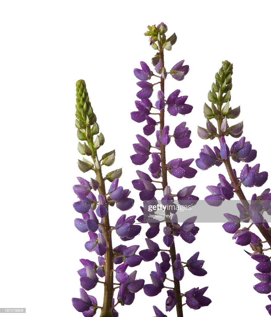 Lupin Flowers On White Background Macro Closeup Blue Purple Green
